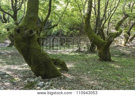 Old sycamore trees