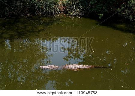 Nile Crocodile Hiden In Water