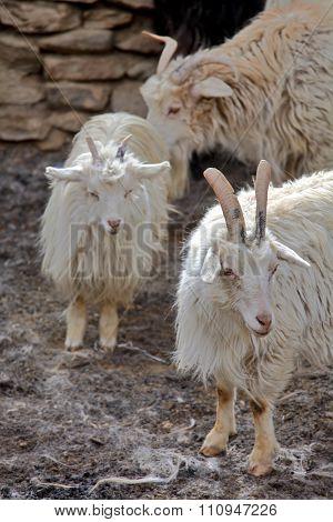 Pashmina goats in the Himalayas - Ladakh
