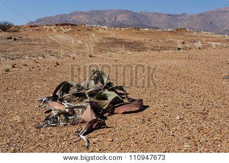 Welwitschia Mirabilis, Amazing Desert Plant, Living Fossil