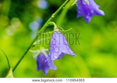 Beautiful Bluebell Flowers With Rain Drops On A Green Blur Background