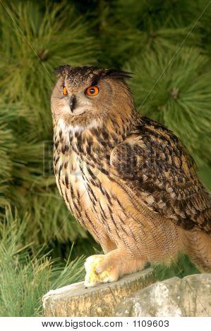 Eagle Owl With Prey.