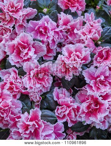 pink azalea flowers closeup