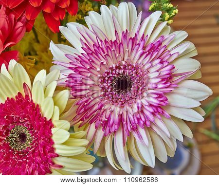 pink and pale white Gerber daisy flower