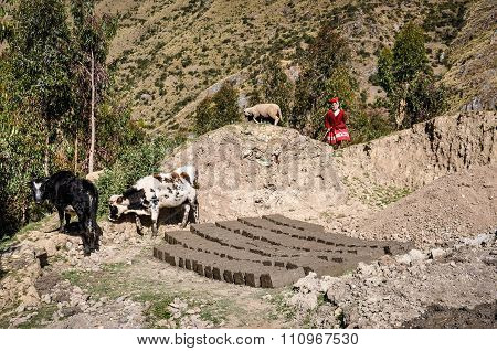 Quechua Woman With Animals In A Village In The Andes, Ollantaytambo, Peru