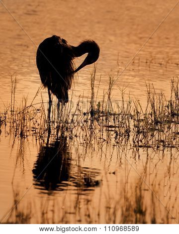 Reddish Egret Preening Its Feathers At .sunset - Florida