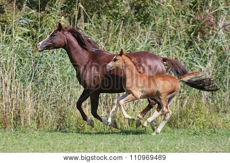 Horses canter on natural background summertime
