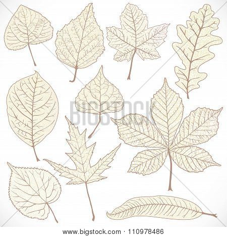 Skeleton Autumn Leaves Of Different Trees Isolated On White Back