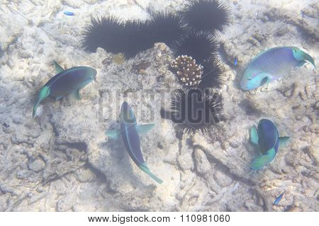 Parrotfishes in Indian Ocean near Seychelles.