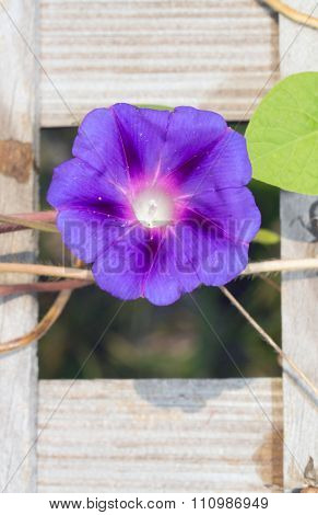 Morning Glory bloom in the middle of a lattice board