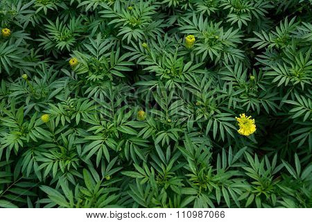 Marigolds are growing