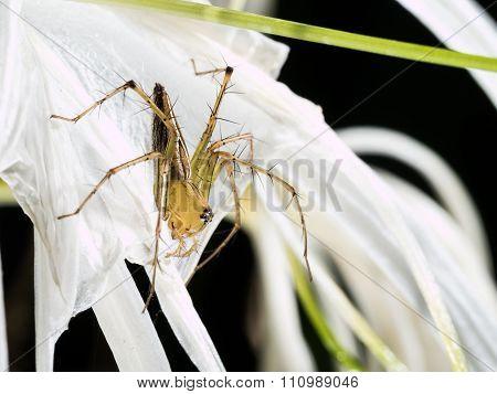 Spider Flower On Spider Lily