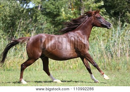 Beautiful Young Arabian Mare Galloping On Pasture