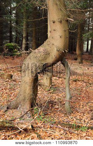 weird spruce