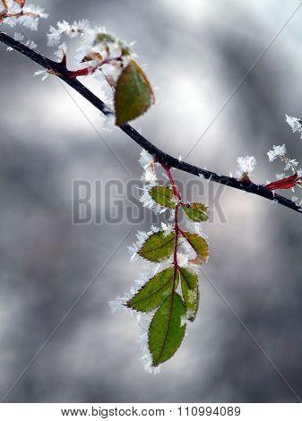 Frosted Leaf Rosehip