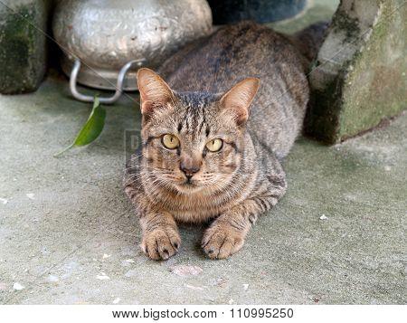 Thailand Cat , Originated In Thailand