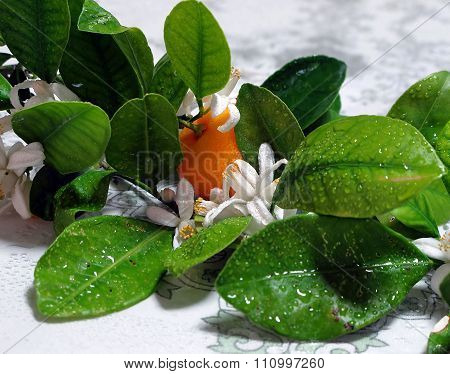 ORANGE TREE BRANCH, LEAF, FRUIT AND FLOWERS