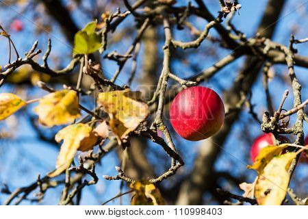 Red Apple On A Tree (autumn)