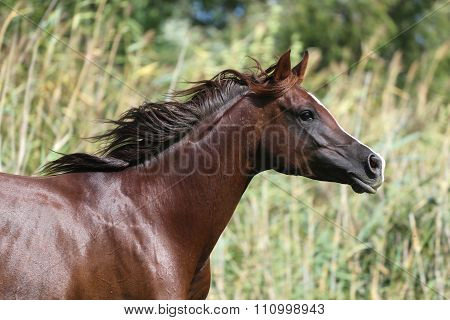 Mare Galloping  In A Meadow Summertime