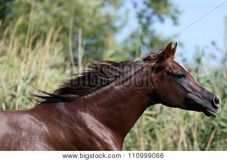 Arabian Mare Galloping  In A Meadow Summertime