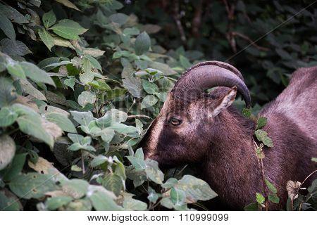 Nilgiri Tahr in National Park