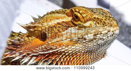 Pet German Giant Bearded Dragon, sunning outdoors, close up detail of head.