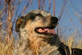 foto of blue heeler  - Australian cattle dog brown winter grass and golden reeds in late afternoon sunlight with blue sky in background and dappled shade on dog - JPG