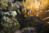 stock photo of clown rose  - a single clown fish ventures from his anemone - JPG