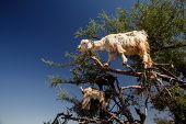 Постер, плакат: incredible tree climbing goats