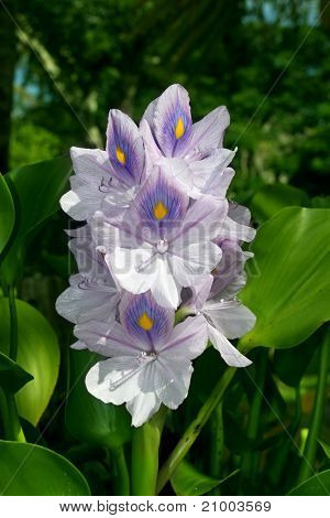 Water Hyacinth (eichhornia Crassipes)