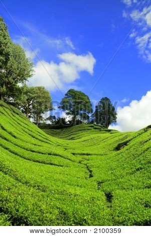 Tea Plantation At Cameron Highland