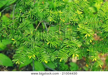 Abstract Green Background of European Yew