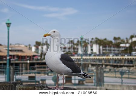 Seagull At The Peir