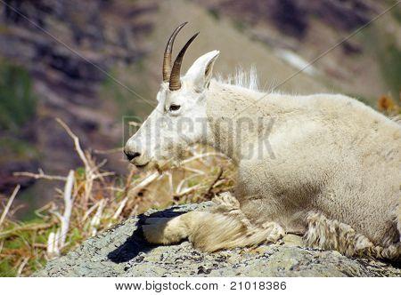 Mountain Goat In The Summer Heat