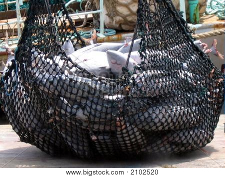 Tuna Caught In Net Zoom In