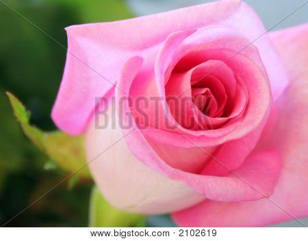 Lovely Soft Pink Rose. Single Flower Bloom