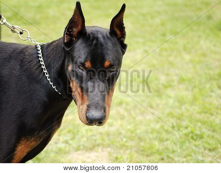 Scary doberman dog on a chain