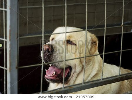 Caged Central Asian Shepherd dog