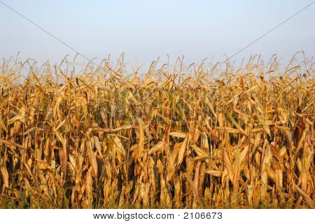 End-Of-Season Field Corn