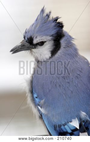 Blue Jay Closeup In The Snow
