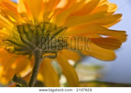 Orange Chrysanthemum Abstract