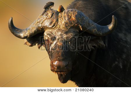 Old African buffalo bull - Syncerus caffer - South Africa