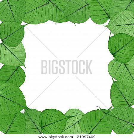 Skeletal leaves on white background