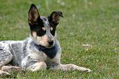 stock photo of heeler  - 8 week old Blue Heeler puppy dog - JPG