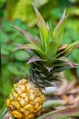 Small Pineapple Ananas Growth In The Tropical Garden poster