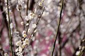 Japanese white plum blossoms in early spring. pink blossoms in background. Shallow depth of field.  poster