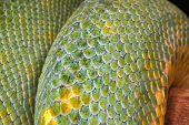 pic of green tree python  - detailed closeup of the scales on a green tree python snake - JPG
