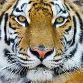 image of tigers-eye  - close - JPG
