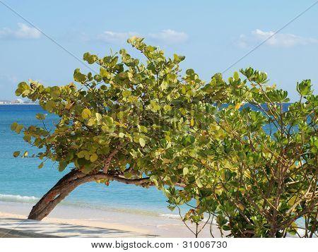 Sea Grape Tree Grand Cayman Beach