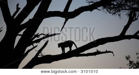 Leopard Stood In A Tree